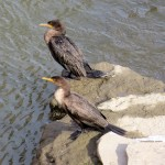 img_0078-cormorants1