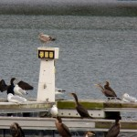 Cormorants & Gulls at IBay 10-27-13
