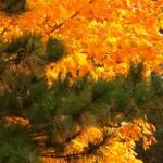 Evergreen and Fall Foliage 10-19-13