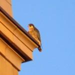 img_0018-ko-falcon