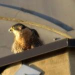 img_0040-beak-full-of-feathers