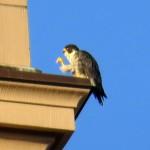 img_0047-unbanded-falcon