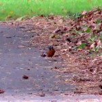 img_0093-robin-red-breast