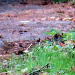 img_0099-birdies-in-the-leaf-litter