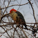 1-red-bellied-wp-near-rs-11-24-13
