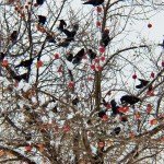 Crows and Apples 11-27-13