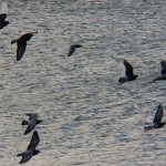 Pigeon Flyby Over the River 11-24-13