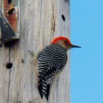 5-red-bellied-wp-near-rs-11-24-13
