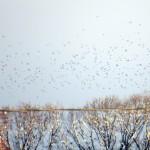 img_0061-starlings
