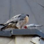 img_0126-definitely-a-pigeon