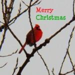 Merry Christmas Cardinal 12-21-13