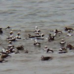 Huge Raft of Long-tailed Ducks on Lake Ontario 12-21-13