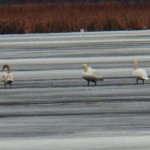 Swans on Frozen Buck Pond 12-21-13