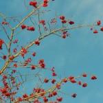 Berries 12-25-13