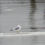 Gull Floating by on a Sheet of Ice on River 12-21-13