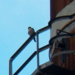 Adult Peregrine Falcon at KP 12-27-13