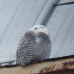 Snowy Owl Downtown on Widows Walk 12-20-13