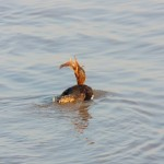 Merganser with Fish 12-28-13