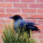 Crow at BS 12-21-13