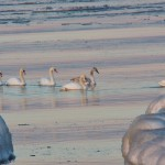 Icy Lake on Ontario - Mute Swan Family 1-9-14