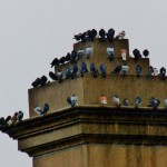 A Large Gathering of Pigeons on the Ford St Bridge 1-11-14