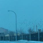 Waves of Crows Moving Thru 1-6-14