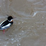 Male Red-Breasted Merganser on River 2-22-14