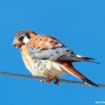 Mr K Male Kestrel at KP 2-23-14