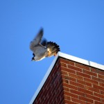 img_0058-dc-takes-off-to-look-for-juvie