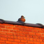img_0004-a-duck-on-thomson-reuters-roof