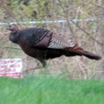 img_0005-wild-turkey-at-the-end-of-my-street