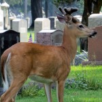img_0048-a-young-buck-in-the-cemetery