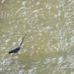 14-heron-fishing-in-the-river-7-26-14