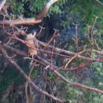 15-juvie-in-falcon-sucking-tree-in-the-gorge-7-22-14