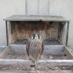 15-tesh-at-the-nest-box-7-31-14