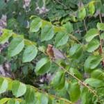 Cedar Waxwing 7-28-14