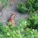 2-fawn-on-the-island-below-ped-bridge-7-25-14