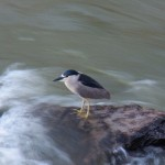 Adult Black-Crowned Night Heron 7-16-14
