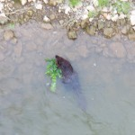30-beaver-in-the-gorge-7-26-14