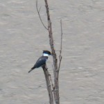 32-kingfisher-in-the-gorge-7-27-14
