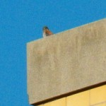 6-kestral-on-bb-plant-7-24-14