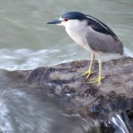 img_0008-black-crowned-night-heron
