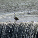 img_0092-goose-thinking-about-going-over-falls