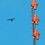 Two Juvie Peregrine Falcons Flying Together 8-13-14