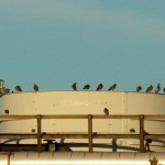 7-kp-pigeons-8-29-14