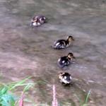 img_0009-4-ducklings