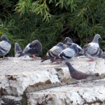 img_0011-a-pigeon-gathering