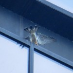 img_0011-fantail