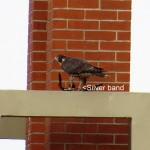 img_0022-silver-band-on-right-leg