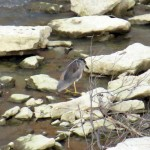 img_0033-black-crowned-night-heron